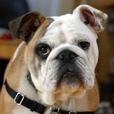 bulldog1