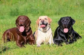 lab ret dogs