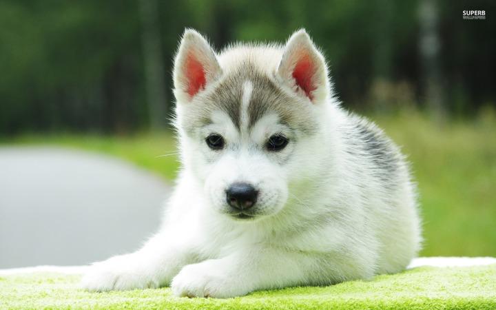 husky-puppy-18220-1920x1200