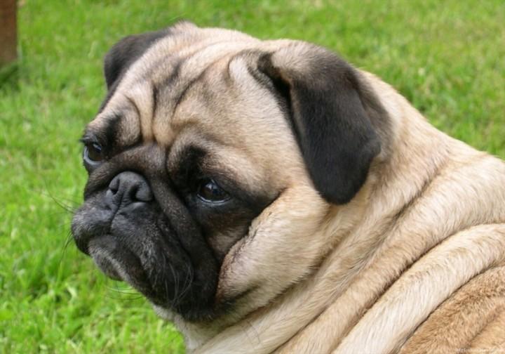 Pug-Dog-7-1024x717
