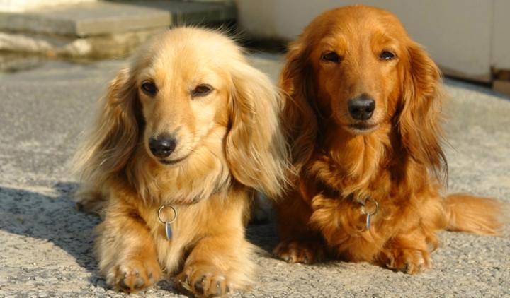 Dachshund-long-hair-dogs