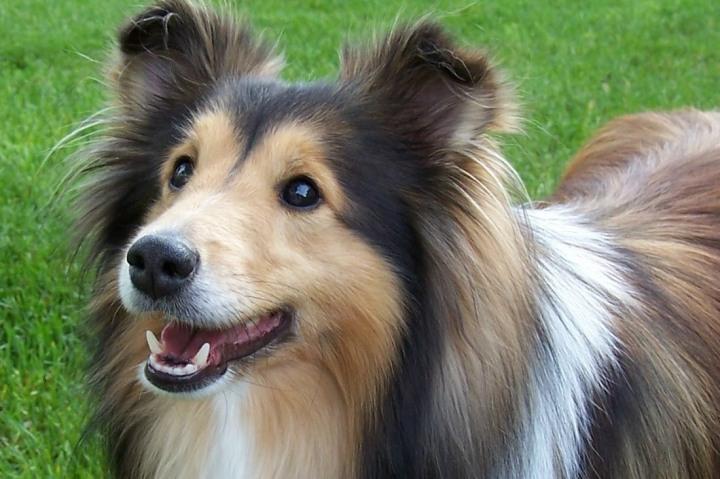 shetland-sheepdog4