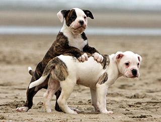 american-bulldog-pic-2