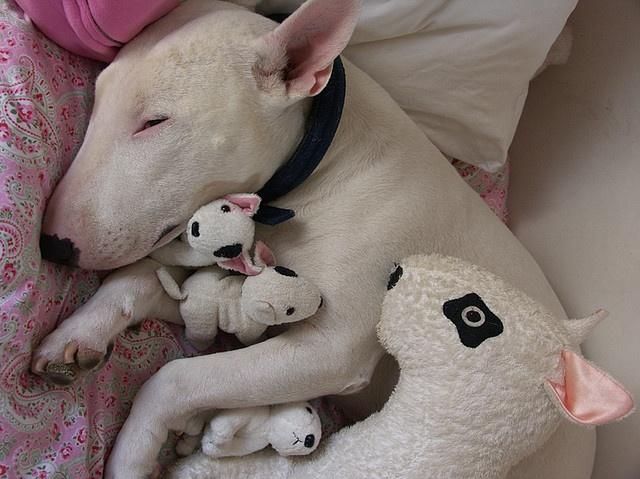 bull-terrier-2